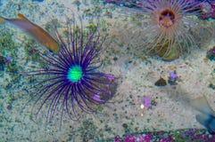 Актиния смотрит много как цветок Морские животные на песочном морском дне, взгляд сверху Экзотическая тропическая тварь вод Стоковые Изображения RF