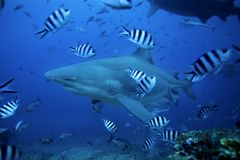 акула быка, leucas carcharhinus, лагуна Beqa, Фиджи стоковое фото rf