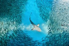 Акула и малые рыбы в океане стоковое изображение
