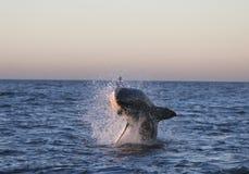 Акула Кейптауна большая белая, как славный она смотрит стоковое фото rf