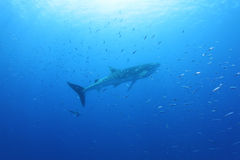 Акула кита в Красном Море Стоковые Фото