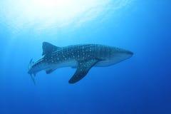 Акула кита в Красном Море Стоковое Изображение RF