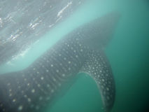 Акула кита Стоковая Фотография RF