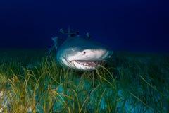 Акула лимона Багамские острова Стоковая Фотография
