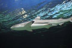 Акула подводная стоковое фото