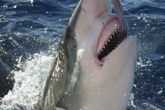 Акула показывая его зубы Стоковая Фотография RF