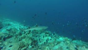 Акула рифа плавает через риф сток-видео
