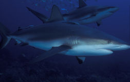 акула рифа Стоковые Изображения RF