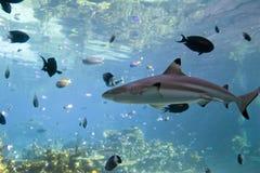 акула рифа blacktip Стоковая Фотография