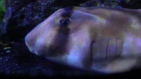 Акула шлема Bull отдыхая на дне видеоматериал