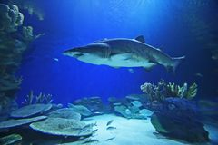 акула стоковая фотография rf