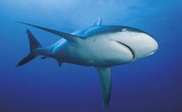 АКУЛА albimarginatus Carcharhinus/SILVERTIP Стоковая Фотография