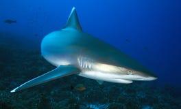 АКУЛА albimarginatus Carcharhinus/SILVERTIP Стоковые Фото