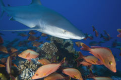 АКУЛА albimarginatus Carcharhinus/SILVERTIP Стоковое Изображение RF