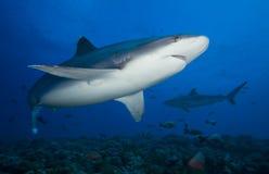 АКУЛА albimarginatus Carcharhinus/SILVERTIP Стоковое Изображение