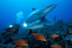 АКУЛА Carcharhinus albimarginatus/SILVERTIP Стоковое фото RF