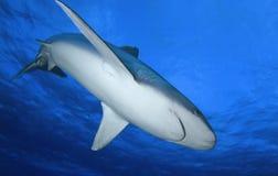 АКУЛА Carcharhinus albimarginatus/SILVERTIP Стоковое Изображение RF