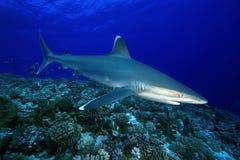 АКУЛА /SILVERTIP albimarginatus Carcharhinus Стоковое Изображение