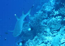 Акула Whitetip Стоковая Фотография