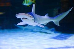 Акулы на аквариуме Дубай Стоковое Изображение