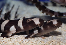 Акула бамбука Brownbanded Стоковое Изображение