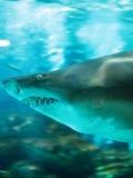 Акула в аквариуме Стоковое Изображение
