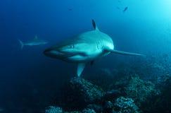 Акула Галапагос Стоковая Фотография RF