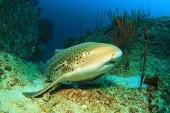 Акула леопарда Стоковая Фотография RF