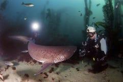 Акула 7 жабр Стоковые Фото