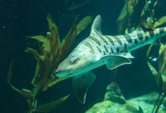 Акула зебры, fasciatum Stegostoma стоковые изображения