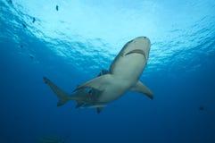 Акула лимона Стоковое фото RF