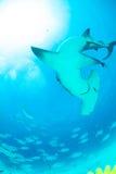 акула молота в Багамских островах Стоковое фото RF
