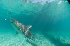 акула молота в Багамских островах Стоковое Изображение