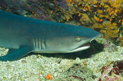 акула рифа Бело-подсказки Стоковая Фотография RF
