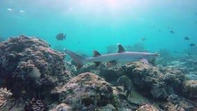 Акула рифа плавает через риф акции видеоматериалы