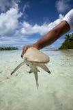 Акула рифа Blacktip Стоковое Изображение RF