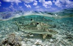 Акула рифа Blacktip Стоковые Фотографии RF