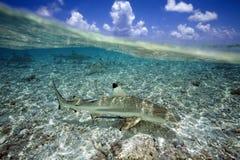 Акула рифа Blacktip Стоковые Изображения RF