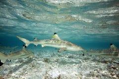Акула рифа Blacktip Стоковое Изображение