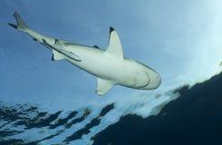 Акула рифа Blacktip Стоковые Фото