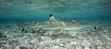 Акула рифа Blacktip Стоковая Фотография RF