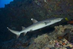 Акула рифа Whitetip Стоковая Фотография RF