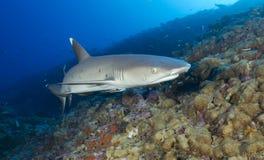 Акула рифа Whitetip Стоковая Фотография