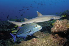 Акула рифа Whitetip Стоковое Изображение RF