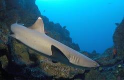 Акула рифа Whitetip Стоковое Фото
