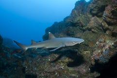 Акула рифа Whitetip Стоковые Фото