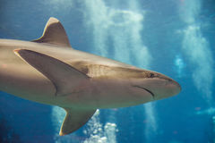 Акула рифа Whitetip Стоковые Изображения