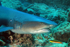 Акула рифа Whitetip Стоковое Изображение