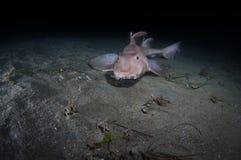 Акула рожка Стоковое Фото
