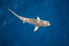 Акула Blacktip на поверхности Тихого океана стоковая фотография rf